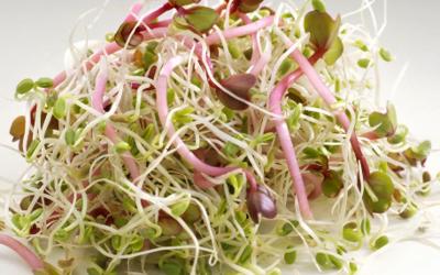 Salade de radis roses aux graines germées
